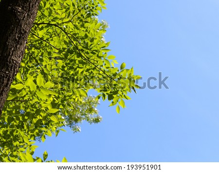 View from below on ash tree (Fraxinus) over blue sky background at spring sunny day  - stock photo