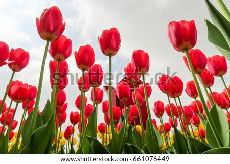 View from the bottom to the sky, a spring tulip flower