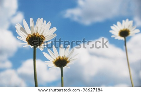 View from the ground of beautiful summer ox-eye daisy flowers. - stock photo