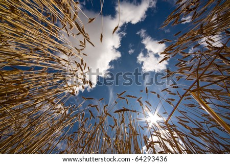 View from the wheat fields at the blue sky and clouds - stock photo