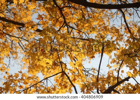 View From Underneath a Maple Tree in the Autumn