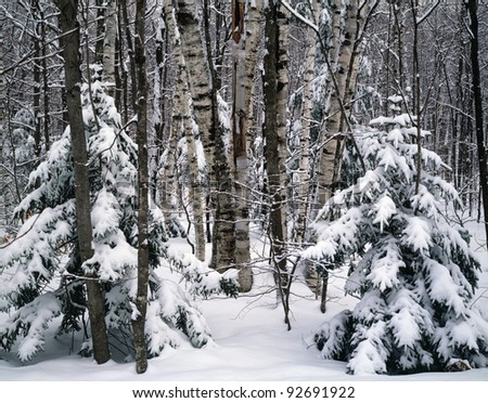 View into New Hampshire forest after snow storm
