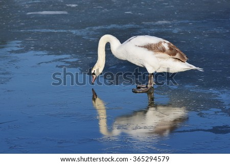 View of a Beautiful White Swan (Cygnus olor) Standing on a Frozen River