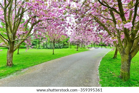 View of a Cherry Blossom Lined Path through a Beautiful Landscape Garden - stock photo