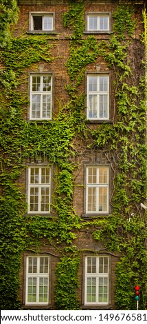 View of a closed window and of a wall covered with ivy/ wall of an old house with ivy - stock photo
