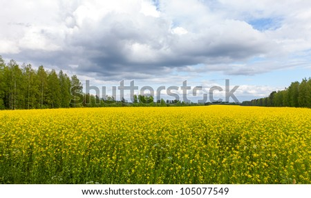 View of a Field of Bright Yellow rapeseed in front of a forest