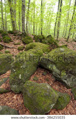 view of a forest of beech trees in summer - stock photo