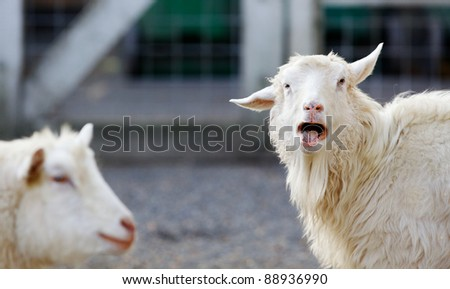 View of a Goat looking at the camera with a human like expression of anger - stock photo
