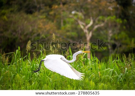 View of a great white heron taking off in the Amazon rainforest in Peru - stock photo