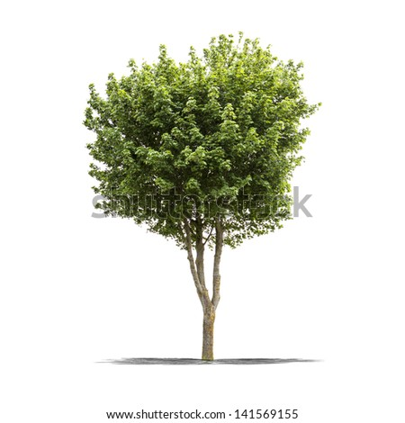 View of a high resolution green tree isolated on a white background