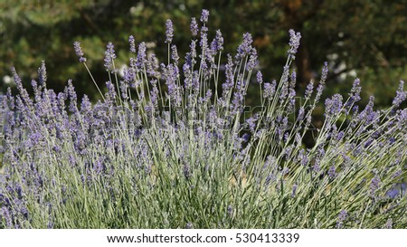 View of a nice lavender bush