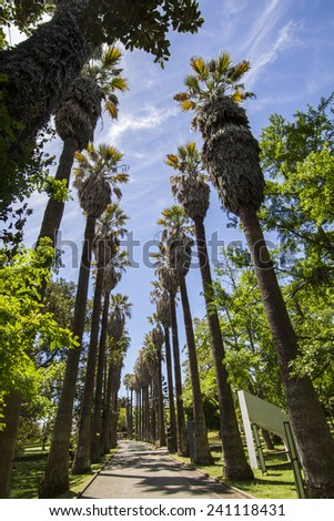 View of a path with tall palm trees located in the Tropical Botanical garden of Lisbon, Portugal. - stock photo