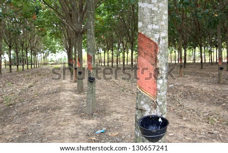 View of a rubber plantation in Thailand. - stock photo