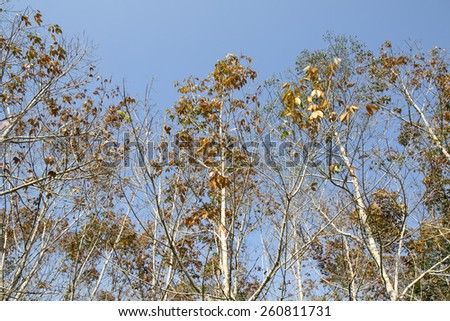View of a rubber plantation in Thailand, leaf of rubber tree background - stock photo