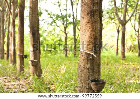 View of a rubber plantation in the southern, Thailand - stock photo