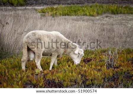 view of a sheep on the vegetation.