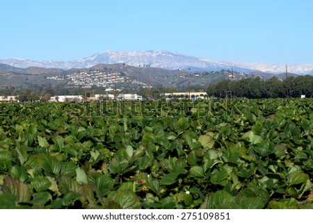 View of a strawberry field with snow montains in the background. - stock photo