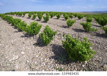 View of a vineyard Fuendejalon, Zaragoza, Aragon, Spain - stock photo