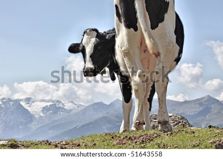 View of a white and black spotted cow on top of a mountain in summer