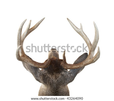 View of a Whitetail Deer Buck Head from Above Isolated on White