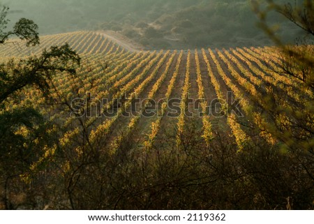 view of a wineyard on autumm - stock photo