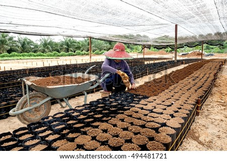 View of a worker fill soil into small poly bags arrangement under the shade for the  oil palm seedlings.