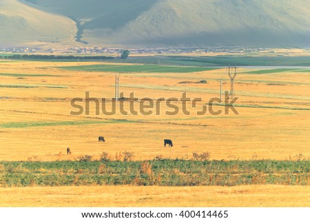 View of a yellow and green field, cows, power lines, houses and hills in the distance. Toned - stock photo