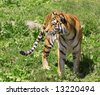 View of a young tiger standing in green grass - stock photo
