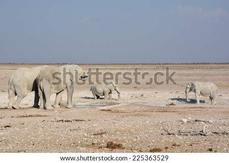 View of an elephant covered in white mud (Etosha National Park) Namibia Africa - stock photo