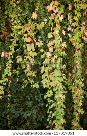 View of an ivy plant in the beginning of the autumn - stock photo
