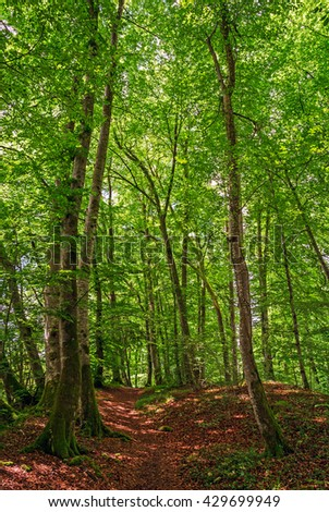 "View of an old deciduous woodland with beech trees ""Fagus Sylvatica"" in South Bavaria"