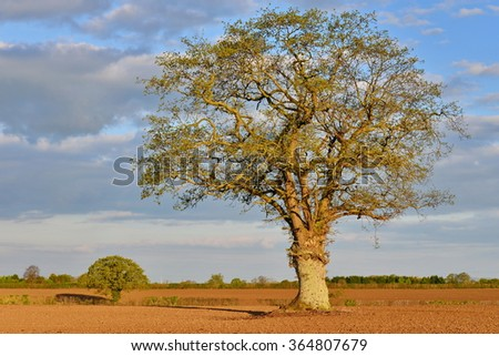 View of an Old Oak Tree Standing in a Ploughed Farmland Field Bathed in Warm Evening Sunlight - stock photo