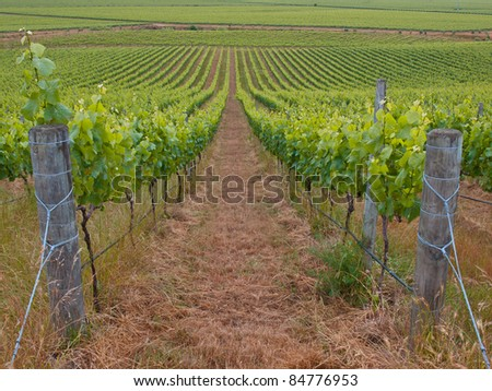 View of an organic vineyard in marlborough region New Zealand - stock photo