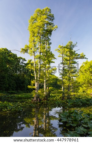View of Bald Cypress (Taxodium distichum) trees at Reelfoot national wildlife refuge - stock photo
