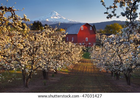 View of barn and mount hood from apple orchard - stock photo