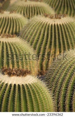view of big and beautiful cacti