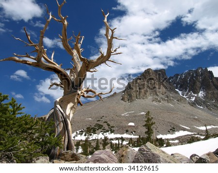View of Bristlecone Pine tree and mountains of Great Basin National Park, Nevada, USA. - stock photo