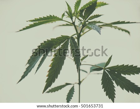 View of cannabis plant with numerous leaves - medical marijuana background