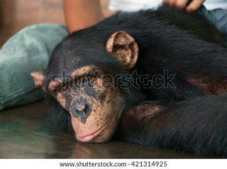 View of chimpanzee lay on the ground.
