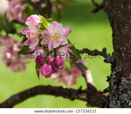 View of crab apple blossoms in varying stages of development. - stock photo