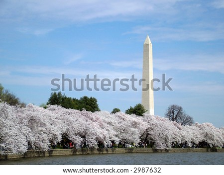 View of first cherry blossoms in washington DC, view of the Washington Monument - stock photo