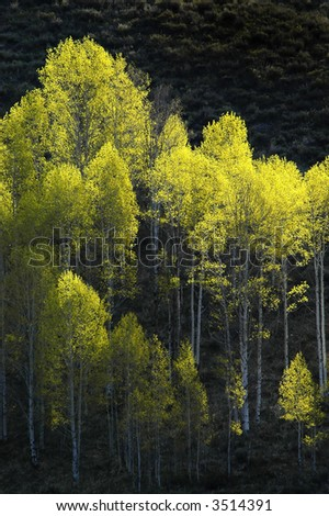 View of forrest of green birch trees on mountainside - stock photo