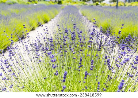 View of Fresh Lavender in Fields - stock photo