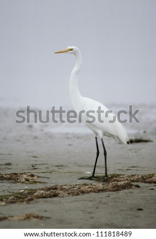 View of Great Egret