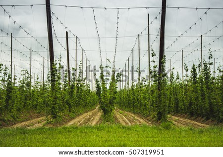 view of hops field at cloudy day