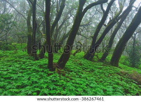 View of Laurel forest within Garajonay National Park, La Gomera, Spain - stock photo