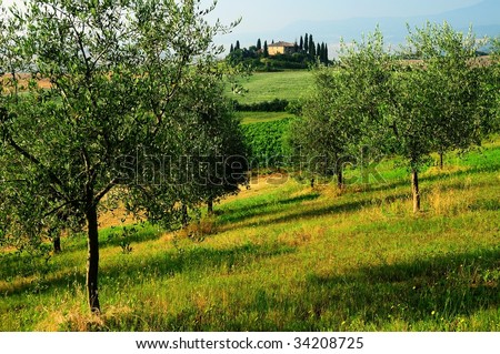 View of lone farm in Tuscany through the olive grove