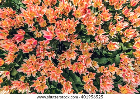 View of many colorful tulips from above - stock photo