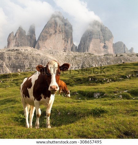view of mount Tre Cime or Drei Zinnen with cows - Italian dolomities - stock photo