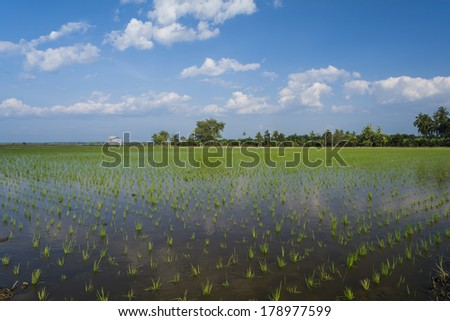 View of paddy field in Sekinchan, Selangor - stock photo